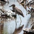 Bird on the north end of Caye Caulker.- Caye Caulker: Koko King Beach