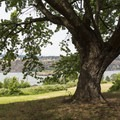 A tree overlooking the river.- Memaloose State Park Campground