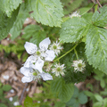 Multi-flora rose along the path (invasive).- Graham Mountain