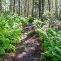 Many ferns can be found along this route.- Mount Starr King + Mount Waumbek