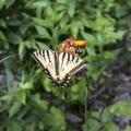 Eastern tiger swallowtail.- Bearpen Mountain