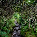 A rhododendron tunnel going to Grassy Ridge. - Carvers Gap to Grassy Ridge Bald