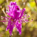 A flower blooming near the cabin.- Mount Chocorua via Liberty Trail