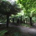 Tree ferns in the Botanic Gardens.- Hagley Park + Botanic Gardens
