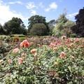 Hagley Park's beautiful rose garden.- Hagley Park + Botanic Gardens