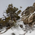 A heavily weathered juniper.- Mount Olympus Snowshoe