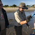 Soft-shell clam (Mya arenaria) found in Alsea Bay.- Alsea Bay Clamming