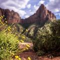 Wildflowers on Watchman Trail.- Watchman Trail