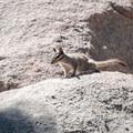 Local wildlife on Castle Rock near Big Bear Lake, California.- Castle Rock Crag via Lower Trailhead