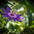 Tennessee's state wildflower, the passion flower, can be seen blooming during the summer months.- Seven Islands State Birding Park