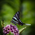 The zebra swallowtail, seen here, is Tennessee's state butterfly.- Seven Islands State Birding Park