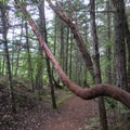 Madrona trees are numerous on the San Juan Islands.- San Juan Island: Young Hill