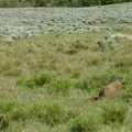 Yellow-bellied marmot in the first mile.- Agate Creek