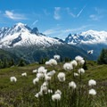 White cottongrass.- Tour Du Mont Blanc: Stages 9, 10 + 11