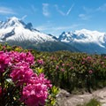More bushes of alpenrose.- Tour Du Mont Blanc: Stages 9, 10 + 11