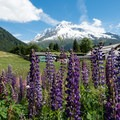 Violet lupin in front of Aiguille Verte.- Tour Du Mont Blanc: Stages 9, 10 + 11