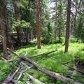 Lush forest floor along the upper reaches of the trail.- Lake Louise Trail