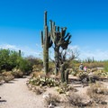 Saguaro cactus are prominent in this area—hence the name Saguaro National Park!- Bajada Nature Trail