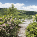 Mountain laurel line the path.- Minnewaska State Park Preserve