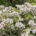 Prolific amounts of mountain laurel (Kalmia latifolia).- Minnewaska State Park Preserve