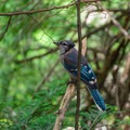 A blue jay rests beside the trail.- Quechee State Park