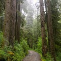 Low-lying clouds and rain saturate the old-growth temperate forest.- Jawbone Flats