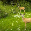 Mule deer visiting the campground.- Indian Creek Campground