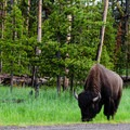 Bison are king in Yellowstone, and that includes Bridge Bay Campground.- Bridge Bay Campground