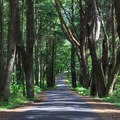 Tall trees line the entrance road to English Camp.- San Juan Island National Historical Park