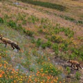 A lot of foxes wander the meadows near the San Juan Island National Historical Park.- San Juan Island National Historical Park