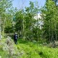 An aspen grove.- Henry's Lake Loop Trail