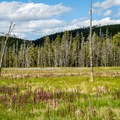 Wildflowers and dead trees in the meadow.- Artist Paintpots Hike