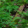 Ferns are a dominant plant here.- High Falls Conservation Area
