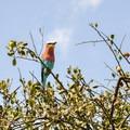A lilac-breasted roller, the national bird of Kenya.- Masai Mara National Reserve