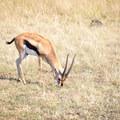 A Thomson's gazelle.- Masai Mara National Reserve
