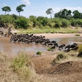 A herd of wildebeest crossing the Mara River during the Great Migration.- Masai Mara National Reserve