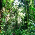The lower valley section of the trail traverses lush tropical forest.- Ka'au Crater Hike