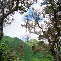 'Ohia flowers in bloom with the summit in the background.- Ka'au Crater Hike