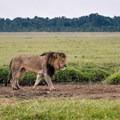 A distinctive dark-maned lion in the Masai Mara.- Masai Mara National Reserve