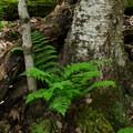 A fern growing at the base of a fir along the trail.- Beer Walls in Chapel Pond Canyon