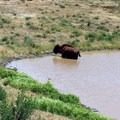 Roaming buffalo in the lake.- Trans-Catalina Trail