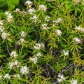 Flowers on the ridge.- Mount Carrigain via Signal Ridge