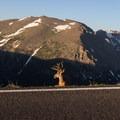 An elk plays hide and seek on Trail Ridge Road in Rocky Mountain National Park.- Trail Ridge Road