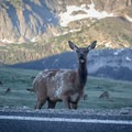 An elk enjoys a quick snack just off the side of Trail Ridge Road.- Trail Ridge Road