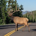 These temporary elk roadblocks are quite common throughout Rocky Mountain National Park, but more often during sunrise and sunset.- Trail Ridge Road