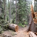 Lots of large fallen trees near the trail.- Crater Lake via Cascade Creek