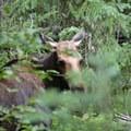 Moose frequent the swampy grasslands at the base of the watershed.- Crater Lake via Cascade Creek