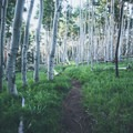The trail winds through aspen stands like this one.- Hart Prairie Loop
