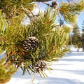 Lodgepole pine (Pinus contorta).- 25 of the West's Most Iconic Trees