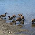 Canada geese at the Esquimalt Lagoon Migratory Bird Sanctuary.- Esquimalt Lagoon Migratory Bird Sanctuary